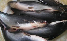 Manfaat Ikan Patin