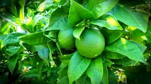 Beberapa manfaat  daun  jeruk  nipis yang  wajib  kalian tahu !